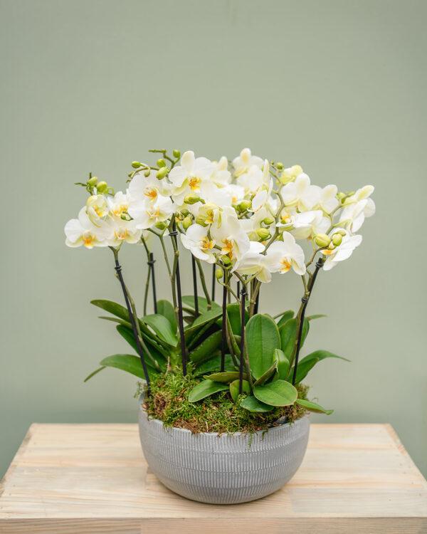 orchids amandas flowers
